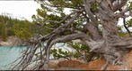 The ancient pine at Whirlpool Point