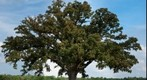Biggest Burr Oak