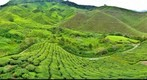 Cameron Highlands Boh Tea Plantation (3)