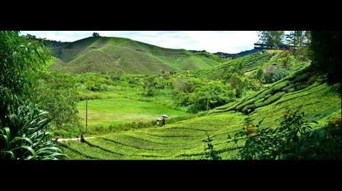 Cameron Highlands Boh Tea Plantation (1)