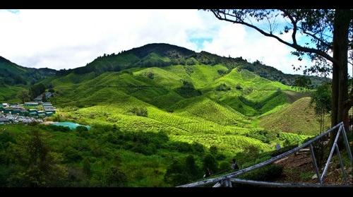Cameron Highlands Boh Tea Plantation (2)