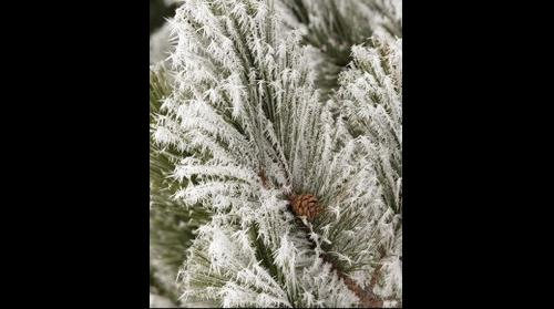 Closeup of pine tree with frost and pine cone