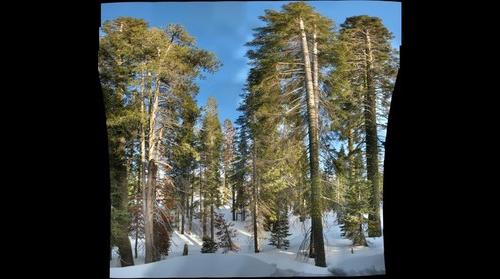 Tall pines at Sugar Bowl