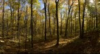 Northern Hardwood Forest -- Maple Stand
