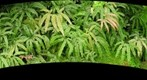 Ferns at Phipps Conservatory