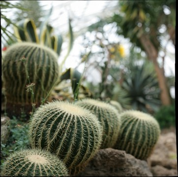 cacti at Phipps Conservatory, focal depth 1 of 5