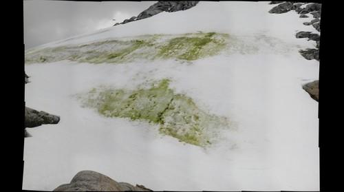 snow algae II