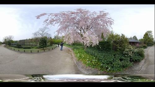 Syowa Kinen Park Cherry blossoms