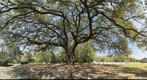 Magnificent Live Oak, Hilton Head Island, SC