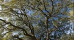 The Canopy of an Old Live Oak