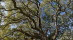 Live Oak Canopy