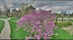 Redbud in full bloom - Oakdale Park - Salina, Kansas