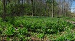 Field of Bluebells &amp;quot;Marcum Woods_01&amp;quot; Oxford Ohio