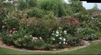 080428 backyd rose circle from west H4285082to 5146 autostitch 70sc98