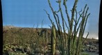 20100319 Saguaro National Park Ocotillo