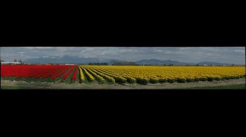 Tulip Festival - 2