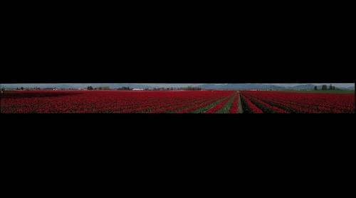Tulip Festival - 1