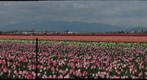 Tulip Festival - 3