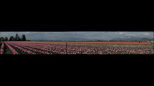 Tulip Festival - 3