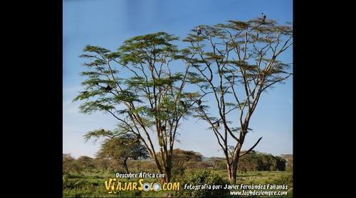Arbol de Africa. Viajes ViajarSolo. Foto por Javier Fernandez de Los 4 de siempre