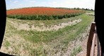 A field of Poppies in Fredericksburg, Texas