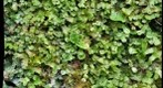 Liverworts,et al.