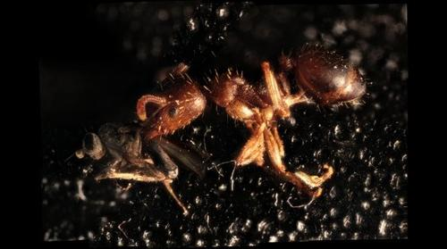 Ant holding a fly