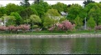 Brookline reservoir blossoms 2