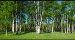 Aspens...a study in green and white