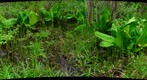 Skunk Cabbage and Horsetails, study in green #2