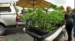 Tomato plants at the Sebastopol Farmer&#39;s market