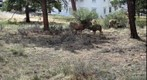Mule Deer 5