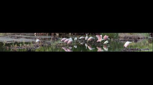 Roseate Spoonbill Panorama