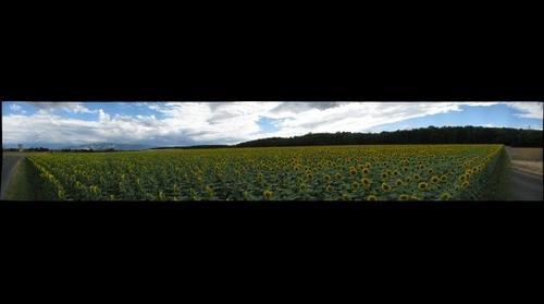Sunflowers in Switzerland