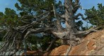 The Ancient Pine at Whirlpool Point (take 2)