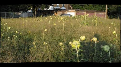 Wilson Sunflowers, Wilkinsburg 8/20/10