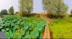 Sacred Lotus Lake, Nelumbo nucifera, 360 (    - )