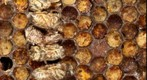Bee Frame Microscopic Gigapixel Test Image