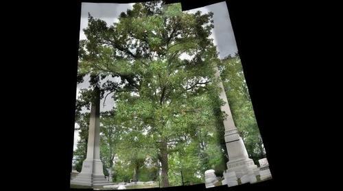 Bur Oak (Quercus macrocarpa), Allegheny Cemetery II