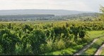Vineyards near Sopron
