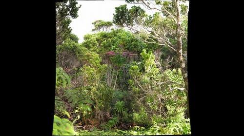 Kauai Kolii