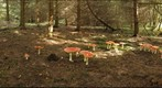 Amanita muscaria and other fungi
