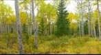 Aspen panorama, Pyramid Lake, Jasper, Alberta