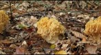 Ramaria sp (right eye)