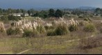 101106 Goleta, California, Ellwood area Pampas grass field