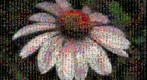 Photomosaic of Echinacea, purple coneflower