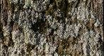 lichen on pin oak II