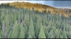 Giant sequoia canopy view 2