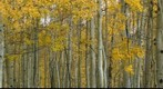 Aspen trees