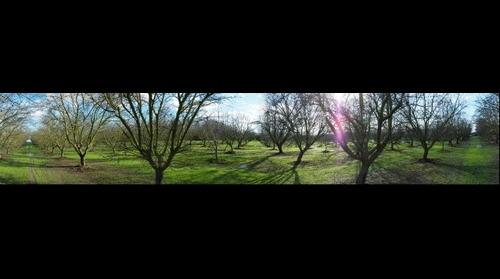 An Almond Orchard in Modesto, CA